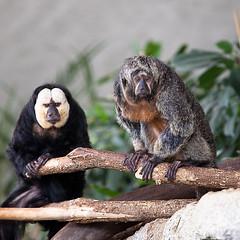 Monkeys in the zoo Karlsruhe (hundertblumen) Tags: monkeys zoo karlsruhe funny
