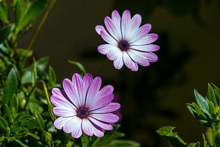 Fleur de jardin n°8