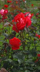 Ukraine/Uman, rose (videodigit16) Tags: rose ukraine plant outdoor flower pentax nature color park uman foliage