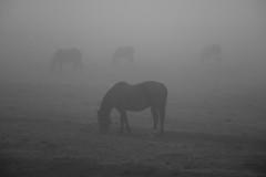 Niebla (Fueguino de hace poco) Tags: caballo hourse niebla neblina campo tierra del fuego arte art pastando