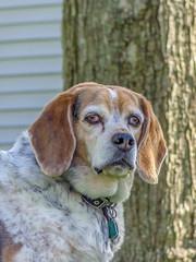 DSC02118-2 (johnjmurphyiii) Tags: 06416 beagle connecticut cromwell fletch originaljpeg shelly sonycybershotdsch90 spring usa yard dog johnjmurphyiii