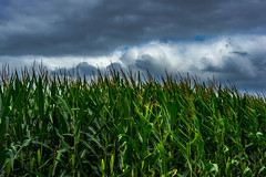 Cornfield and clouds (myaarhkoo1) Tags: photo usa landscape nature fall clouds agriculture corn plant color cornfield growth seekonk scenic farm sky farming seasonal cloudformations fineart newengland field shoreline undergrowth water travel sunlit skin providence outside white