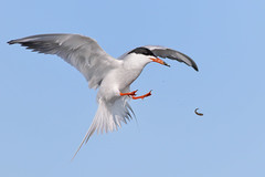 Come back here! (bmse) Tags: forsters tern bolsa chica fish fishing flipping tossing canon 7d2 400mm f56 l bmse salah baazizi wingsinmotion