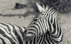 Take My Best Side (philnewton928) Tags: burchellszebra zebra equusquaggaburchellii mammal animal animalplanet wild wildlife nature natural satara kruger krugernationalpark africa southafrica outdoor outdoors safari nikon nikond7200 d7200 monochrome blackandwhite blackwhite bw stripes