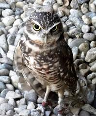 The burrowing owl (EcoSnake) Tags: burrowingowl owls birds wildlife october idahofishandgame naturecenter