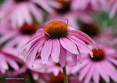 Nevena Uzurov - Pink (Nevena Uzurov) Tags: echinaceapurpurea coneflower nevenauzurov serbia cvet