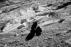 Alpine Chough on the Hllentalferner (decineper) Tags: hllentalferner hllental zugspitze glacier mountain climbing hiking bird chough alps germany klettersteig viaferrata crevasse hollentalferner