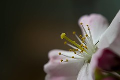 Spring flower , #color , #Light , #composition , #Dramatic , #Photographer , #abstract , #Bokeh , #macro , #petals , #Flora , #mothernature , #delicate , #Closeup , #beautiful , #splendid , #Upclose , #photoart , #pollen , #wanderlust , #blossom , #spring (jwzw@ymail.com) Tags: spring flower color light composition dramatic photographer abstract bokeh macro petals flora mothernature delicate closeup beautiful splendid upclose photoart pollen wanderlust blossom perspective exposure outdoor contrast photography nature wonder stamen