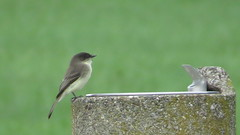 Eastern Phoebe (Sunsades) Tags: easternphoebe phoebe sx50 canon wilsonpointpark baltimorecounty