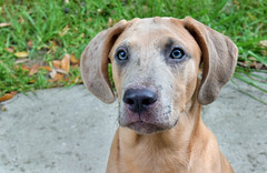 Dante (Larah McElroy) Tags: photograph photography picture pictures larah mcelroy larahmcelroy animal animals dog dogs puppy puppies catahoula catahoulas pitbull curr mix mutt