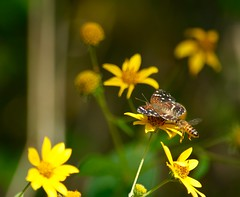 Excuse me... coming through. (Kreative Capture) Tags: butterfly bee insects flower flowers yellow wildflower texas nikon d7100 nikkor outdoor insect plant mormon metalmark apodemia mormo