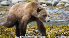 Grizzly bear (cjwveldkamp) Tags: grizzly bear grizzlybear widlife nature canada knightinlet glendalecove britishcolumbia
