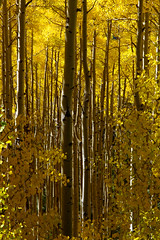 Aspens in the fall, New Mexico. (cbrozek21) Tags: aspen tree grove forest autumncolors fallcolors yellowleaves newmexico