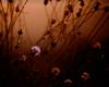 The sound of dusk approaching (Alicante, Spain 2011) (Alex Stoen) Tags: 206365 5dmk2 alexstoen alexstoenphotography atardecer backlight bloom canon canoneos5dmarkii collection contraluz depthoffield dry ef70200f28lisusm flickr flor flower marchitada naturalbeauty naturaleza nature newlife picasa picassa plant planta profundidaddecampo project365 seco silvestre sunlight sunset vidanueva wilderness withered bokeh composicioncreativa creativecomposition dof facebook shallowdof spain