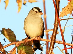 white-crowned sparrow at Lake Meyer Park IA 854A6270 (lreis_naturalist) Tags: whitecrowned sparrow lake meyer park winneshiek county iowa larry reis