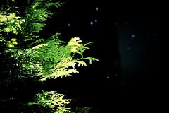 sparkling background (camerito) Tags: thuja sparkling perlender hintergrund background dark black green sunshine thuje camerito nikon1 j4 flickr austria sterreich noise sensor farbrauschen