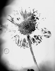clichè verre (Pirogallolo) Tags: altprocess alternativeprocess bw danilopedruzzi esperimenti fotografiaanalogica flowers clicheverrè homemadepictures natura offcamera pirogallolo