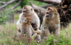 Gibraltar Calling (Ger Bosma) Tags: 2mg183295 berberaap magot macacasylvanus macacasylvana barbarymacaque european barbaryape berberaffe berber affe macaqueberbre macacodegibraltar monodeberbera monarabona bertuccia scimmiadibarberia