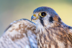 American Kestrel (PhillymanPete) Tags: oktoberfestnaturecelebration portrait americankestrel nature bird palmyracovenaturepark raptor kestrel falcon palmyra newjersey unitedstates us