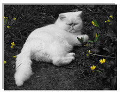 """ Mellow and Yellow..."" (ezekial) Tags: cats yellow cat persian exoticcats persiancats mellow persians buttercups persiancat exoticcat exoticpersian fujifilmfinepix whitepersian catstoys mooshka catmoments fujis5800"