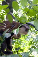 Mona Monkey Female with Young (Sylphbranching) Tags: monkey mona ghana atome sanctuary tafi cercopithecus