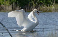 SWAN - STRUMPSHAW FEN (jdoakey) Tags: uk greatbritain england bird eye reed beautiful animal swimming swim reeds swan wings pretty day breast britain gorgeous sony great norfolk wing beak feathers feather clear stunning norwich british marsh lovely splash alpha dslr favourite fen animalplanet oakley reedbed splashing strumpshaw thewildlife strumpshawfen flickraward avianexcellence dslt sal70400g sony70400 flickraward sonya77 flickraward5 flickrawardgallery theinspirationgroup