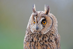 Long-Eared Owl, Asio otus. UK (PANDOOZY PHOTOS) Tags: uk bird long owl prey eared asio otus strigidae