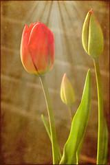 Blessed by the Sun (keeva999) Tags: flowers texture spring nikon iowa hss d3200 memoriesbook lenabemanna
