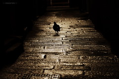 in a dark alley (zozoros) Tags: street italy nature animals dark pigeon piccione lerici tellaro
