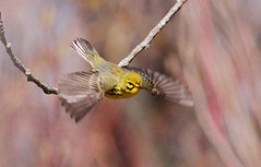 Prairie Warbler In Flight (naturelover2007) Tags: toronto bird nature flight prairie warbler prairiewarbler naturelover2007