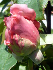 premiere rose du jardin (IronMum) Tags: mixedflowers flowersarebeautiful mimamorflowers flickrflorescloseupmacros rosesforeveryone