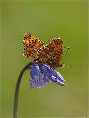 Pearl-bordered Fritillary  ( Mating pair )  - Explore (Grasping-air) Tags: