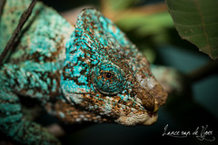 Reptiles-2013024643 (MacroHunter) Tags: blue reptile scales chameleon madagascar 2013 lancevandevyver lancevandevyverphotography