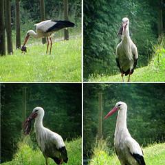 IMG_0549+53+55+57 The predator (pinktigger) Tags: italy bird nature italia predator stork cigea friuli storch cigogne ooievaar fagagna cicogna villalta oasideiquadris feagne