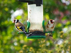 feathered friends (Martha-Ann48) Tags: macro beautiful birds garden bokeh goldfinch feathers seed sunflower perch feeders plumage