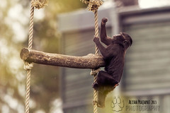 Climbing. (Raveniith) Tags: wild black nature animal photography zoo sweden wildlife rope climbing ape primate grabbing canon60d