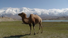 DSC00163 - KARAKUL - lake lac - information -in english -en franais (peguiparis) Tags: china mountain lake montagne lac camel karakul chine chameau mutztagata mygearandme