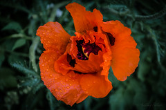 In Bloom Too (+ & -) Tags: orange plant flower reflection green nature wet leaves rain yellow germany landscape outdoors bavaria photo stem nikon purple nirvana picture rainy raindrops pedals dslr delicate glistening inbloom lichtenau d7000