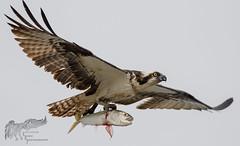 Osprey 7_25 2 (krisinct- Thanks for 12 Million views!) Tags: nikon d500 500 f4 vr g