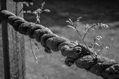 Wisteria: Winding branches (KWPashuk) Tags: nikon d7200 nikkor70300mm lightroom kwpashuk kevinpashuk nature garden wisteria royalbotanicalgardens burlington ontario canada monochrome mono outdoors