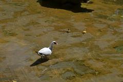 Parque Genovs (Emilio J. Rodrguez-Posada) Tags: cadiz espaa andalucia agosto2016 agosto 2016 spain andalusia parquegenoves patos aves pato patitos patito duck ducks