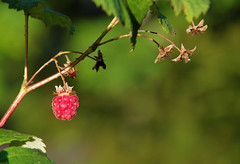 Last one to pick (STTH64) Tags: raspberry berry sweet garden plant green dof