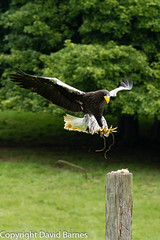 Steller's sea eagle (captive) (Wild About.......) Tags: 1d4 birds british duncombepark flightshot haliaeetuspelagicus ncbp nationalcentreforbirdsofprey nature naturephotography stellersseaeagle uk unitedkingdom wildlife yorkshire