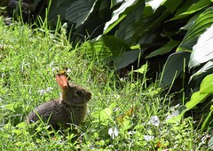 teacup bunny (marensr) Tags: rabbit bunny tiny small wee chicago camouflage green leaves ears nature mammal