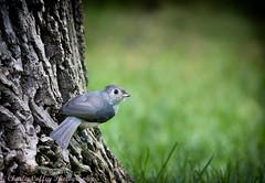 Tufted Titmouse (decorahman) Tags: tuftedtitmouse bird birds canonef400mmf56lusm canon70d winneshiekcounty decorah iowa lightroom cc