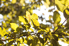Leaves and sunshine  #leaves #sunshine #sun #branches #tree #plumtree #nature #green #limegreen #sky #warm #summer #closeup #bokeh #branch #branches #fresh #plant #light #bright (dario0806) Tags: branch plant sky warm green bright limegreen summer sunshine light closeup nature plumtree tree branches sun leaves fresh bokeh