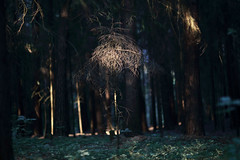 the chosen one (Mindaugas Buivydas) Tags: lietuva lithuania color wood forest tree trees fir evening eveninglight mood moody verkimikas verkiaiforest spring may