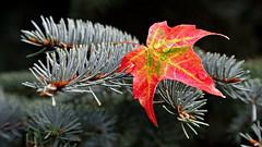Trapped Color (08 10 2016) (PhotoDocGVSU) Tags: fall autumn fallcolor autumn2016 westmichigan kentwoodmi canon5d3 leaf maple