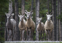 Bighorn Sheep (Jerry Ting) Tags: lakeminnewanka banffnationalpark alberta canada bighornsheep