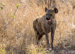 Hyena (dunderdan77) Tags: nikon tamron southafrica wildlife krugerpark nature animal africa hyena